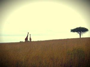 giraffebeauty